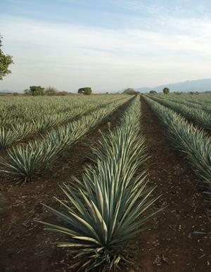 Filtración de zumo de ágave para la producción de tequila y recuperación de inulina